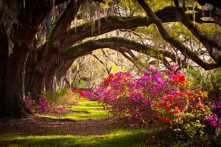 Charleston Plantation Oaks Fine Art Landscape