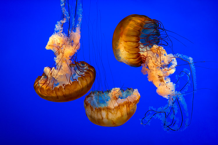 Atlantic Ocean Sea Nettle Jellyfish Wildlife Photography Print