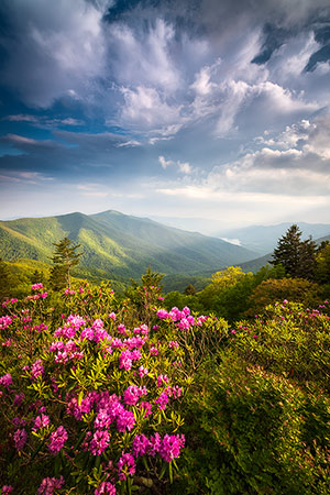 Summer Rhododendron Flowers Asheville NC Mountains Landscape