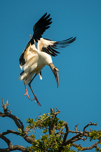 Wood Stork Wildlife Photography Print